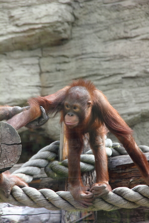 Orangutan baby   photo