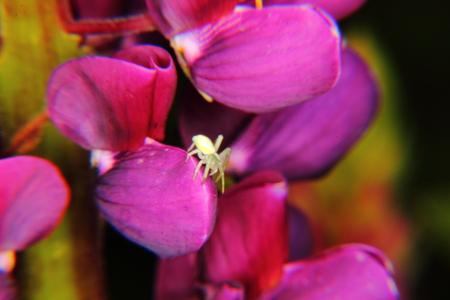 crabspider: Spider  Flower   Stock Photo