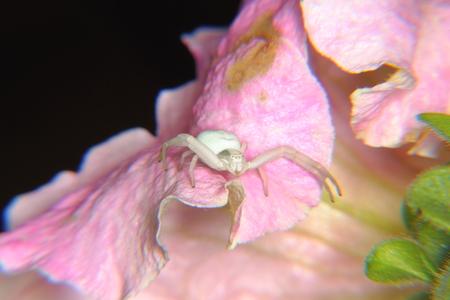 goldenrod crab spider: Spider  Flower   Stock Photo