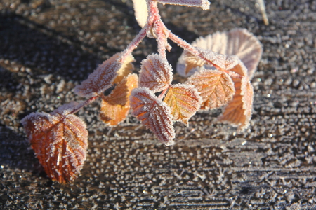Dry leaves  Hoarfrost   photo