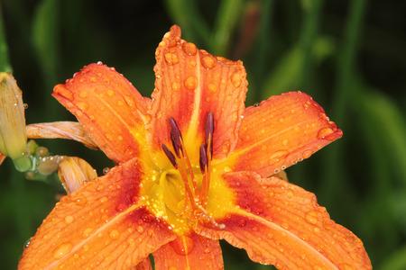 Centrepiece: Lily. Garden flower.