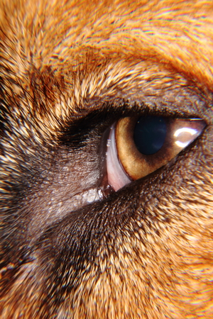Eye of the domestic dog lying on the floor in the house.  photo