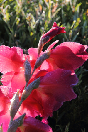 Blooming flower gladiolus growing in the summer garden.  photo
