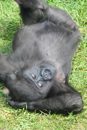 Gorilla cub sitting on green grass in a summer park.  photo