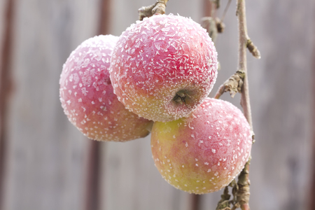 frost winter: Apples covered with snow hanging on the apple tree branch. Stock Photo