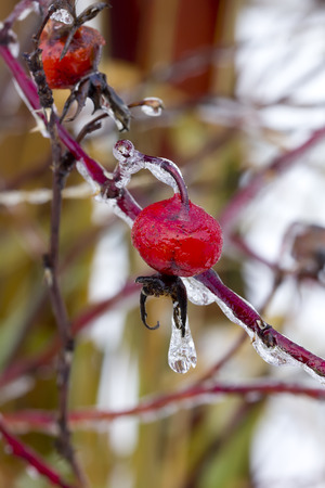 The ripe berries of a dogrose covered with snow.