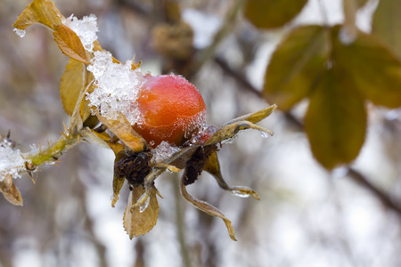 texas tea: The ripe berries of a dogrose covered with snow.