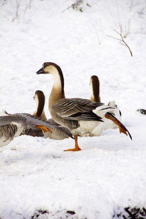 Herd of geese sitting on snow. Rural. Stock Photo
