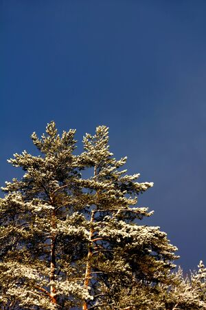 The big pine covered with snow against the blue sky.