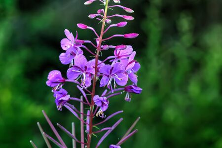 fireweed: Flowering fireweed on a summer meadow. Rural. Stock Photo