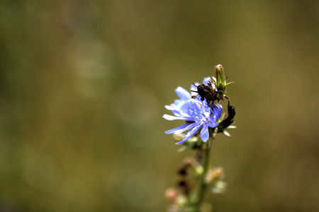 chicory flower: The blossoming chicory flower growing on a summer meadow.