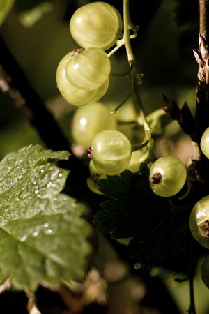gauzy: Garden berry. The ripe white currant growing in a summer garden. Stock Photo