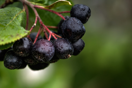 The ripe berries of a chokeberry tree growing in a summer garden.