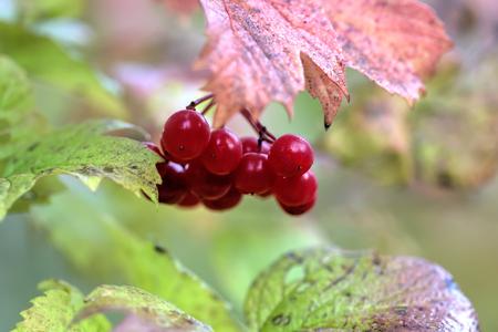 guelderrose: Red berries. The ripe berries of a guelder-rose growing in the summer wood.