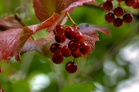 guelder rose berry: Red berries. The ripe berries of a guelder-rose growing in the summer wood.