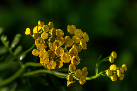 Tansy. Meadow flower. Stock Photo