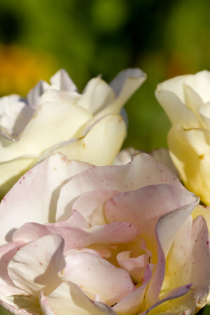 The white rose blossoming in a summer garden. Stock Photo