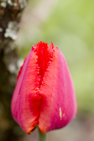Red tulip. Cultivated flower.