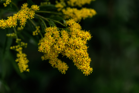 blossoming: The blossoming golden rod. Stock Photo