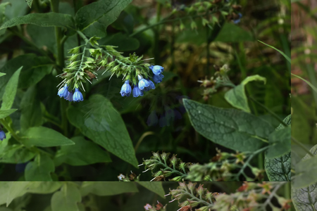 symphytum officinale: The blossoming comfrey.