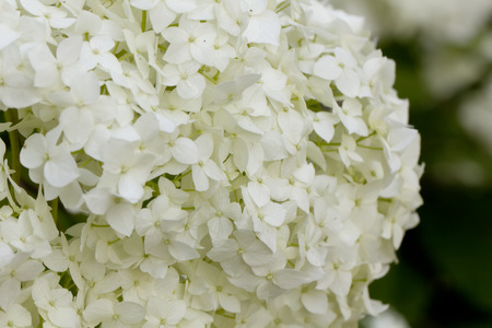 The hydrangea flower blossoming in a summer garden.