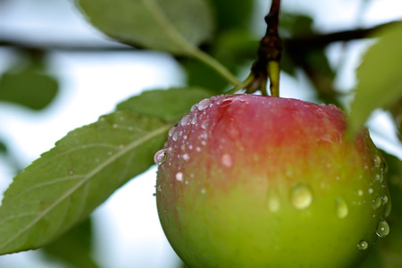 The ripe apple hanging on an apple-tree branch in a summer garden.