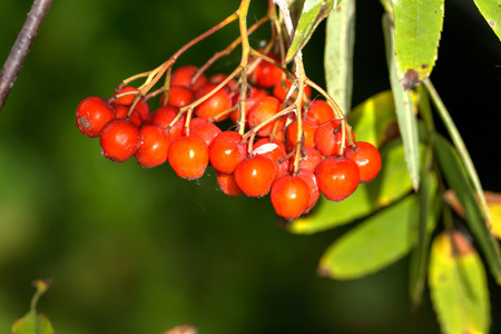 The ripe berries of a mountain ash hanging on tree branches.