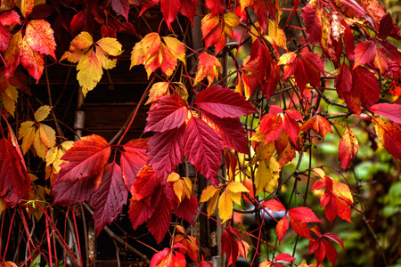 tendrils: Red leaves of creeper in an autumn garden. Partenocissus. Stock Photo