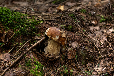 cepe: Cepe. Forest mushroom. The cepe growing in the summer wood. Stock Photo