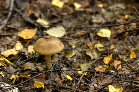 Birch mushroom. Forest mushroom. The birch mushroom growing in the summer wood.