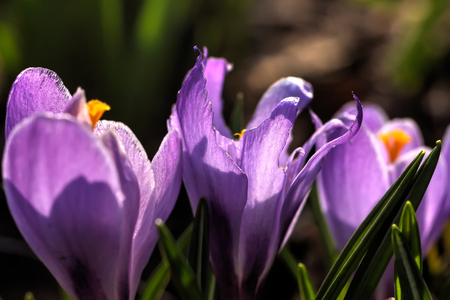 The crocus flower blossoming in a spring garden.