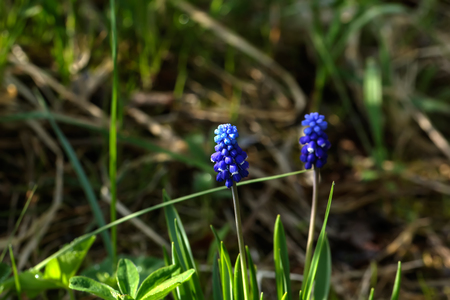 Blooming flower muscari in the spring garden.
