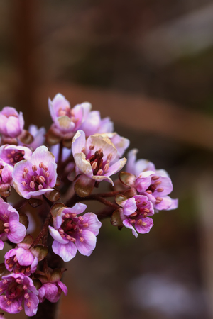bloomy: The blossoming bergenia flower in a spring garden.