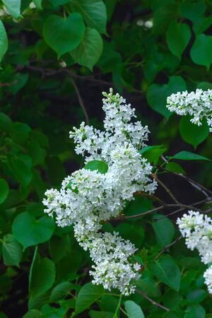 Blooming lilacs growing in a spring garden.