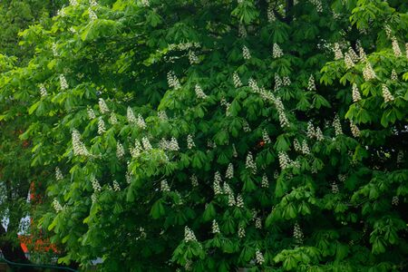 horse chestnut seed: Flowers on the chestnut growing in the spring city.