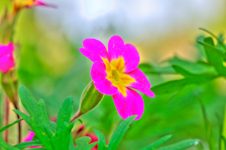 The blossoming petunia growing in a spring garden.