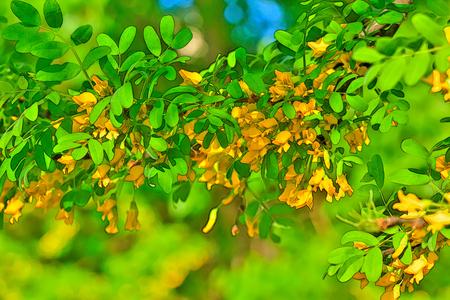 Siberian pea shrub flower blooming in spring garden.