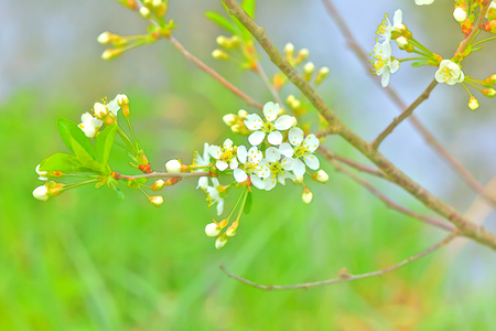 Flowers on the cherry growing in a spring garden. Stock Photo