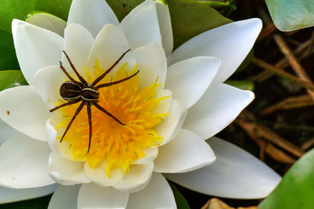 Spider sitting in an ambush on a flower. Stock Photo