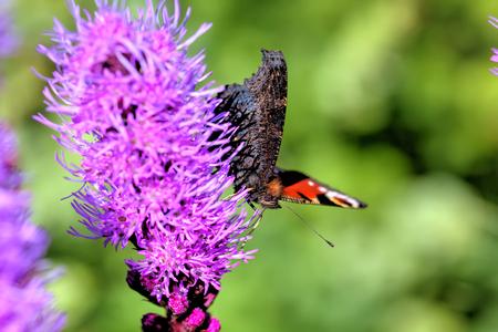 Butterfly peacock eye sitting on a flower.