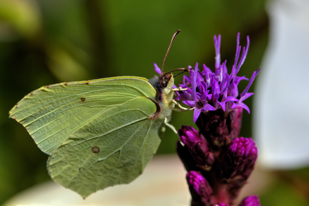 Brimstone butterfly sitting on the flower of the summer field.