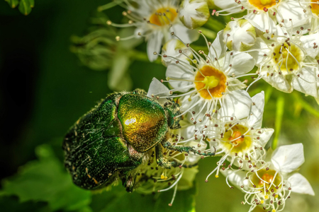 The beetle Cetonia sitting on a flower in a summer garden.