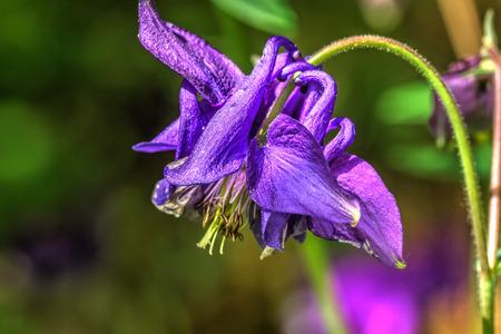 The flower of the aquilegia growing in the summer garden.