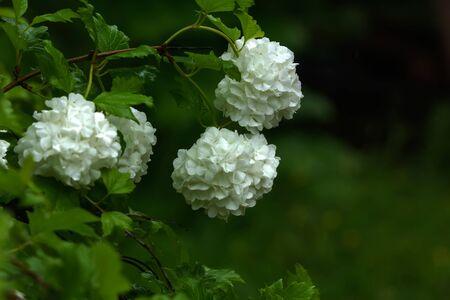 Blooming bush of a guelder-rose. Summer garden.