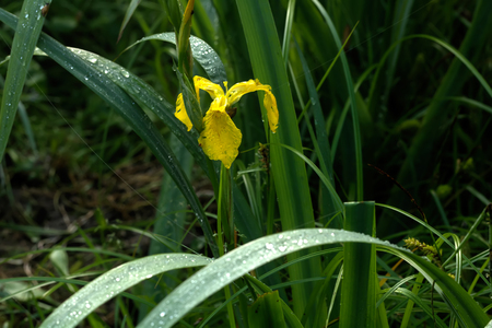 A yellow iris blooming around a summer pond.