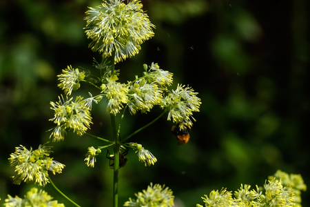The flower of the meadow rue grows on a summer meadow.