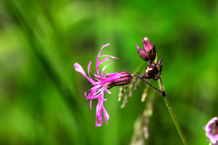 A lychnis flower growing on a summer meadow.
