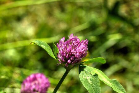 lucky clover: Wild flower. A clover flower growing on a summer meadow. Stock Photo