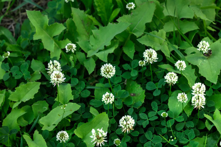 A Trifolium repens flower growing on a summer meadow. Stock Photo