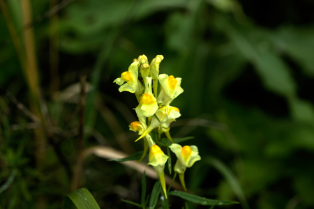 Wild flower. A toadflax flower growing on a summer meadow. Stock Photo